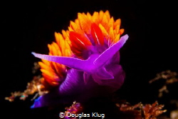 California Kelp Forest Color. This Spanish Shawl nudibran... by Douglas Klug